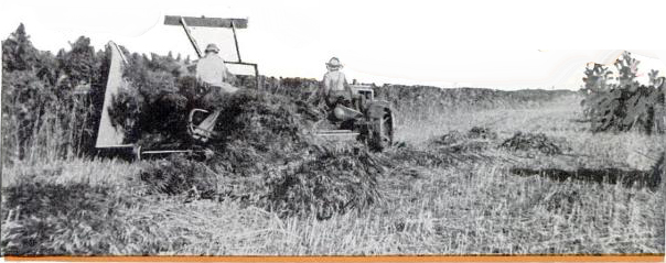 Harvesting hemp with a grain binder. Hemp grows luxuriously in Texas.