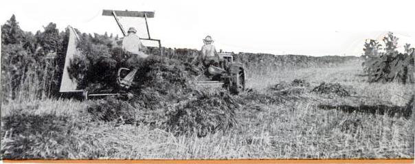 Harvesting hemp with a grain binder. Hemp grows luxuriously in Texas.